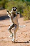 Tanzen Sifaka ist aus den Grund Lustige Abbildung madagaskar Lizenzfreie Stockfotografie