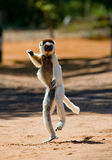 Tanzen Sifaka ist aus den Grund Lustige Abbildung madagaskar Lizenzfreies Stockfoto