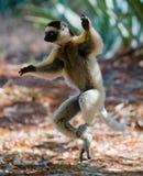 Tanzen Sifaka ist aus den Grund Lustige Abbildung madagaskar Lizenzfreie Stockfotos