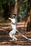 Tanzen Sifaka ist aus den Grund Lustige Abbildung madagaskar Lizenzfreie Stockbilder