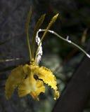Tanzendame Orchidee Stockbild