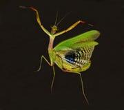 tanzender betender Mantis Lizenzfreies Stockbild