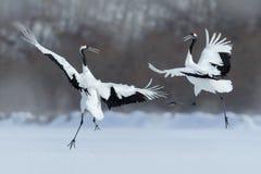 Tanzenpaare des Mandschurenkranichs mit offenem Flügel im Flug, mit Schneesturm, Hokkaido, Japan Stockfotos