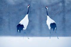 Tanzenpaare des Mandschurenkranichs mit offenem Flügel im Flug, mit Schneesturm, Hokkaido, Japan Vogel in der Fliege, Winterszene stockbild