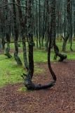 Tanzenwald von Curonian-Spucken Kurshskaya-kosa, Kaliningrad, Russland, Stockfoto
