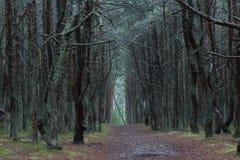 Tanzenwald von Curonian-Spucken Kurshskaya-kosa, Kaliningrad, Russland, Stockbild
