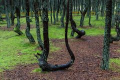 Tanzenwald von Curonian-Spucken Kurshskaya-kosa, Kaliningrad, Russland, Lizenzfreies Stockfoto