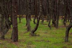 Tanzenwald von Curonian-Spucken Kurshskaya-kosa, Kaliningrad, Russland, Stockfotografie