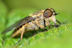 taon brun aux yeux de bandes (bromius de Tabanas) Photo libre de droits