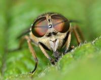 taon brun aux yeux de bandes (bromius de Tabanas) de front Photographie stock