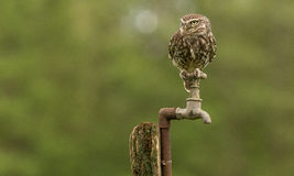 Tap dancer. A wild little owl sitting on an old water tap Royalty Free Stock Images