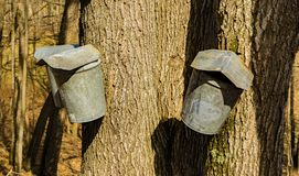 Three Buckets on Maple Trees Collecting Sap. Tap holes are drilled into maple trees trunk and galvanized buckets are hung from tap holes of the maple trees to stock photos