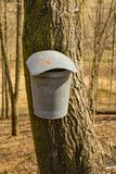 Bucket on a Maple Trees Collecting Sap - 2. Tap holes are drilled into maple trees trunk and galvanized buckets are hung from tap holes of the maple trees to royalty free stock image