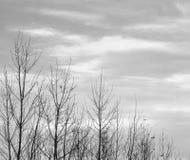 Tapas de árboles descubiertos en blanco y negro Imagenes de archivo