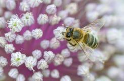 Tapas de la flor con la abeja Imágenes de archivo libres de regalías