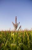 Tapas de los tallos del maíz Foto de archivo libre de regalías