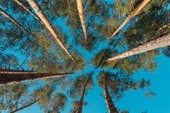 Tapas de pinos Imagenes de archivo