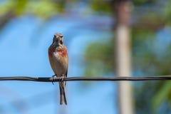 Tapdog, trepadeira, pássaro da família do passerine que senta-se no fio e que olha ascendente próximo foto de stock