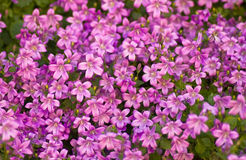 Tapestry of pink bellflowers or Campanula Stock Photo
