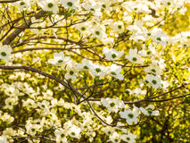 Tapestry of White Dogwood Blossoms Stock Images