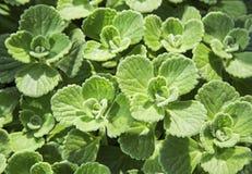 Tapet för bakgrund för mintkaramellörtflora Royaltyfria Bilder