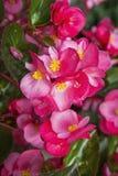 Tapet för blomning för begoniaprimula blom- Fotografering för Bildbyråer