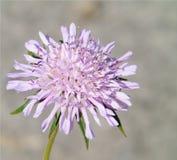 Tapet med closeupen av en lila blomma som är upplyst på ljus bakgrund arkivfoton