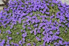 Tapete azul de flores do aubrieta foto de stock