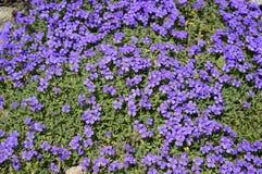 Tapete azul de flores do aubrieta imagem de stock