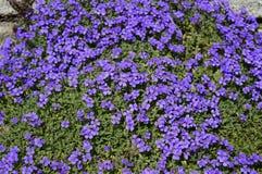 Tapete azul de flores do aubrieta foto de stock royalty free