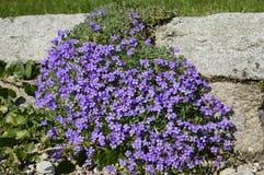 Tapete azul de flores do aubrieta fotografia de stock