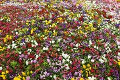 Tapete colorido da flor no parque - pansies Fotografia de Stock Royalty Free