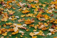 Tapete das folhas de bordo do outono Grama verde coberta com a folha caída durante a estação agradável Tiro horizontal Cores amar fotografia de stock royalty free