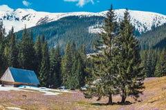 Tapete de açafrões de florescência no vale do chocholowska Imagens de Stock Royalty Free