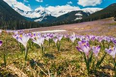 Tapete de açafrões de florescência no vale do chocholowska Fotografia de Stock Royalty Free