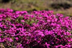 Tapete floral roxo Imagens de Stock