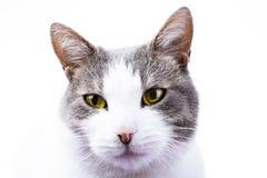 Tapeten-Abdeckungshintergrund der Katze HD Inländische schöne erstaunliche Katze auf lokalisiertem weißem Studiofoto Katze mit sc Stockbild
