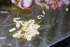 Tapeworm on a dissection table Stock Image