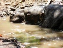 Tapezieren Sie mit Nahaufnahme des Nilpferds im Schmutzwasser unter der Sonne lizenzfreies stockbild