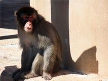 Tapezieren Sie mit Nahaufnahme eines Affen mit verärgertem Blick am Zoo Stockfoto