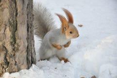 Tapferes Eichhörnchen Lizenzfreies Stockbild