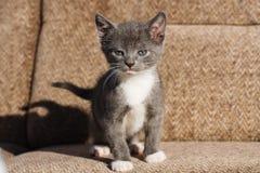 Tapferes kleines graues und weißes Katzenkätzchen, das auf einem braunen Sofa steht Stockfotografie