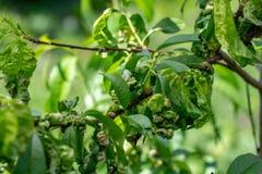 Taphrina deformans, peach fungus diseases close up stock photo