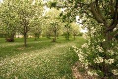 Tapijt van appelbloesems in de lente royalty-vrije stock afbeelding