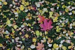 Tapijt van de bladeren van de de herfstesdoorn Royalty-vrije Stock Foto