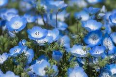 Tapijt van Nemophila, of bloem van baby de blauwe ogen Stock Foto