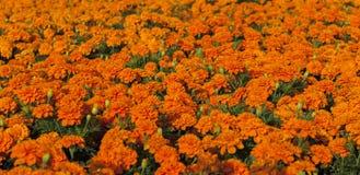 Tapijt van oranje goudsbloemen Stock Fotografie