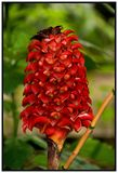 Tapinoch Wax Ginger plant. Native to Malaya, Indonesia and Australia. also called Indonesian Wax Ginger, Red Wax Ginger, Pineapple Ginger, Giant Spiral Ginger stock photo