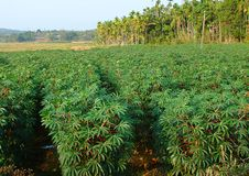 Tapioca - Cassava - Plantation in Kerala, India Stock Photos