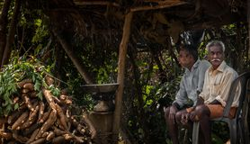 Tapioca het oogsten in Kerala royalty-vrije stock afbeelding